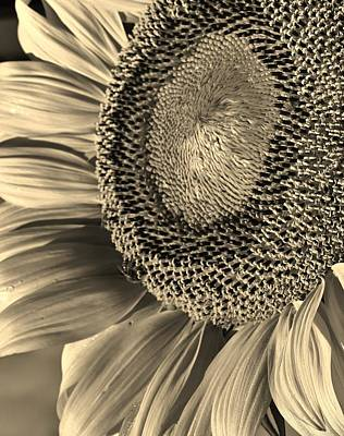 Photograph - Sunflower Study 1 by Bruce Bley