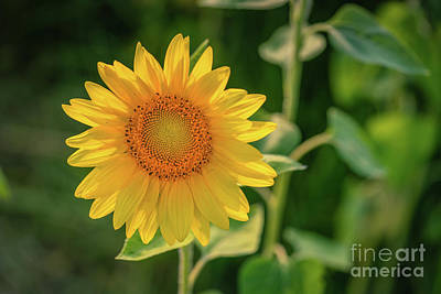 Photograph - Sunflower Summer by Cathy Donohoue