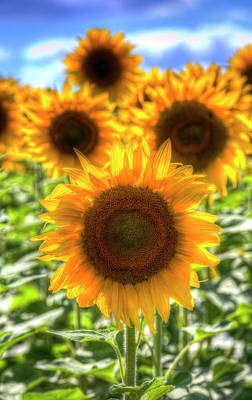 Photograph - Sunflower Summer Days by David Pyatt