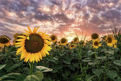 Photograph - Sunflower Sun by Matteo Viviani