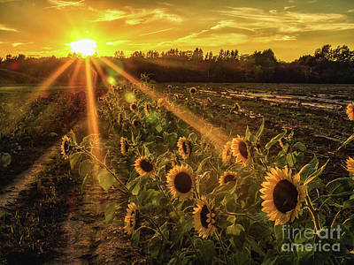 Photograph - Sunflower Sunrays On Long Island, New York by Alissa Beth Photography