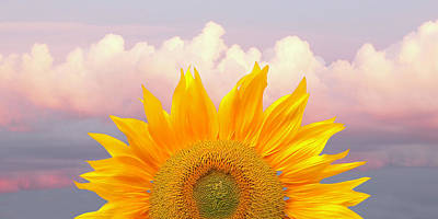 Photograph - Sunflower Sunrise Panoramic by Gill Billington