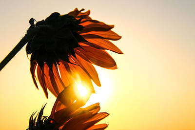 Photograph - Sunflower Sunset by Amber Dopita