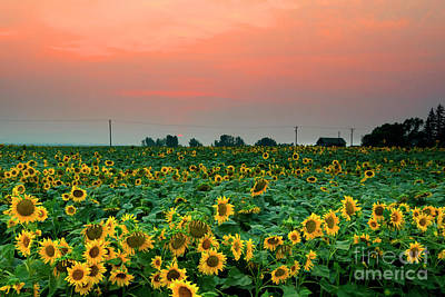 Photograph - Sunflower Sunset by Mike Dawson