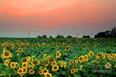 Photograph - Sunflower Sunset by Mike Dawson