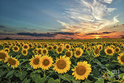 Sunflower Sunset Art Print by Tod and Cynthia Grubbs