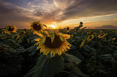 Sunflowers Royalty-Free and Rights-Managed Images - Sunflower Sunstar  by Aaron J Groen