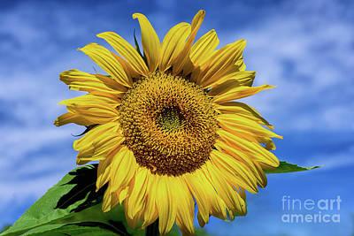 Photograph - Sunflower by Susan Warren