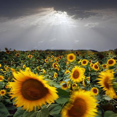 Sunflower Taking A Bow Art Print by Floriana Barbu