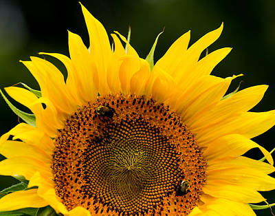 Photograph - Sunflower That Looks Like The Sun by Leah Palmer