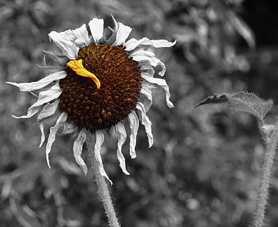 Photograph - Sunflower- The End Of Summer by David Pantuso