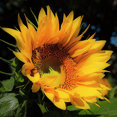 Photograph - Sunflower by Theresa Tahara