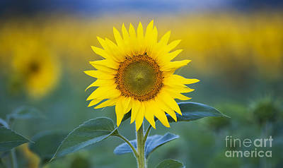 Floral Photograph - Sunflower by Tim Gainey