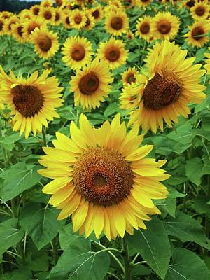 Photograph - Sunflower Time by John Scates