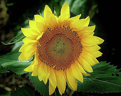 Photograph - Sunflower Time Once Again by Karen McKenzie McAdoo