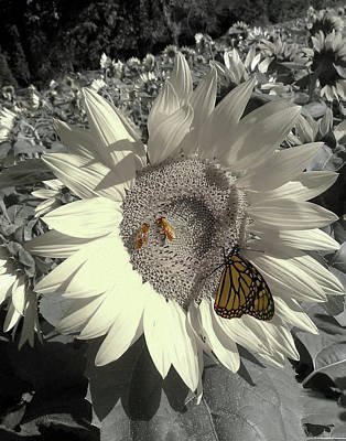 Photograph - Sunflower Tint by Melinda Blackman