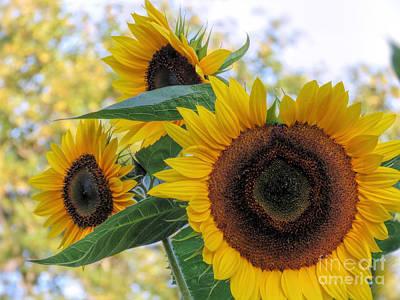 Photograph - Sunflower Trio by Janice Drew