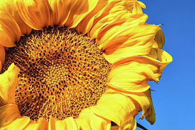Photograph - Sunflower Up Close by Tony Hake