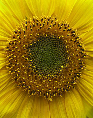 Sunflower Art Print by Vari Buendia