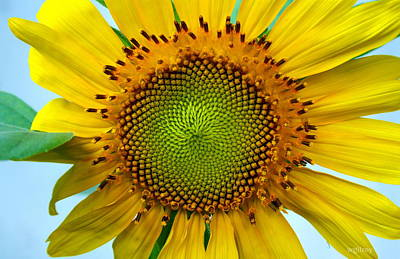 Sebastian Florida Photograph - Sunflower by W Gilroy