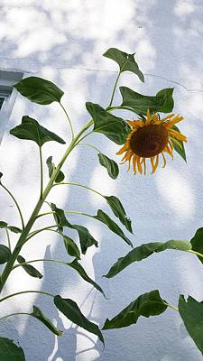 Photograph - Sunflower Wall by Rob Hans