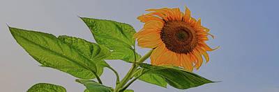 Photograph - Sunflower Wild by Amanda Smith