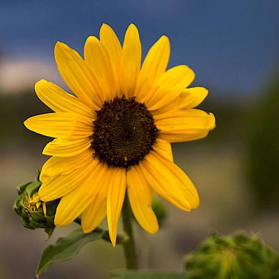 Sunflower Art Print by William Wetmore