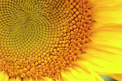 Photograph - Sunflower by Windy Osborn