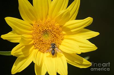 Photograph - Sunflower With Bee I by Terri Thompson