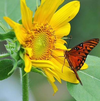Photograph - Sunflower With Butterfly by Rose  Hill