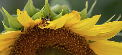 Photograph - Sunflower With Grasshopper by Lindy Grasser