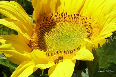 Photograph - Sunflower With Honeybee by Stephen Daddona