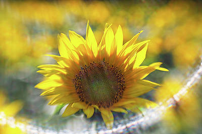 Photograph - Sunflower With Lens Flare by Natalie Rotman Cote
