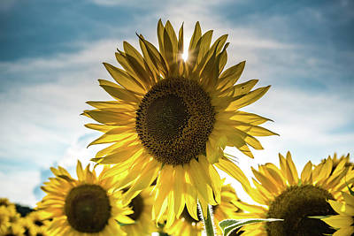 Photograph - Sunflower With Sun Peaking Through by Anthony Doudt