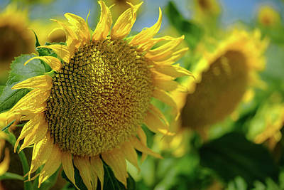 Photograph - Sunflower With Waterdrops by Robin Mayoff