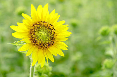 Photograph - Sunflower Yellow by Cathy Donohoue