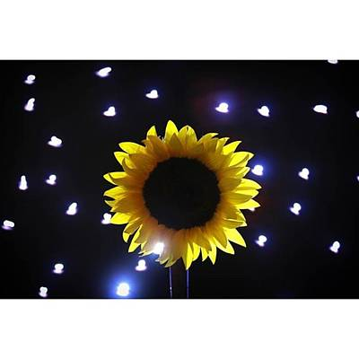 Star Photograph - #sunflowers & #stars Series  #flower by Andrew Nourse