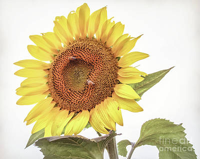 Photograph - Sunflowers 10 by Andrea Anderegg