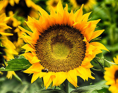 Photograph - Sunflowers 10 by Leah Palmer