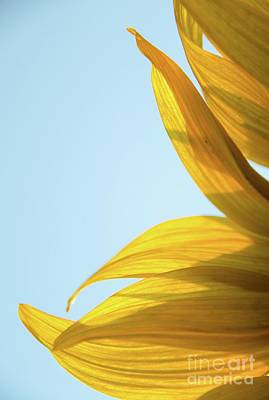 Photograph - Sunflowers 11 by Andrea Anderegg