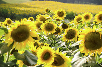 Photograph - Sunflowers 13 by Andrea Anderegg