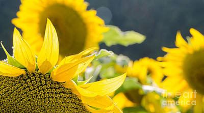 Photograph - Sunflowers 14 by Andrea Anderegg