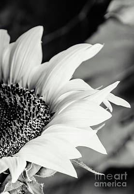 Photograph - Sunflowers 16 by Andrea Anderegg