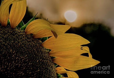Photograph - Sunflowers 17 by Andrea Anderegg