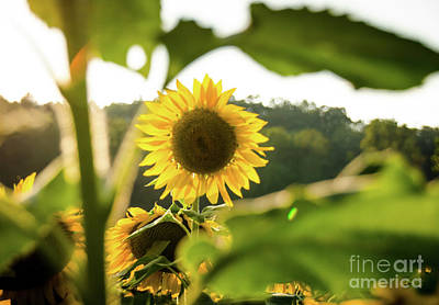 Photograph - Sunflowers 2 by Andrea Anderegg
