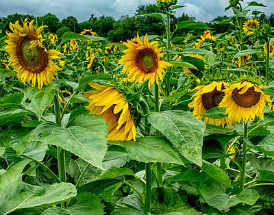 Photograph - Sunflowers 2 by Leah Palmer