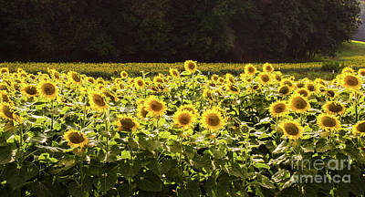 Photograph -  Sunflowers 5 by Andrea Anderegg