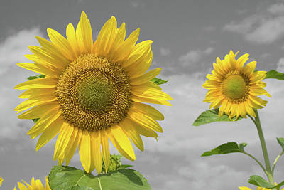 Sunflowers V Art Print