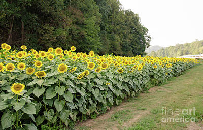 Photograph -  Sunflowers 6 by Andrea Anderegg