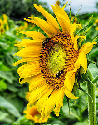 Photograph - Sunflowers 6 by Leah Palmer